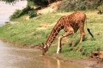 GiraffeandOxpeckersatRiver