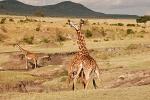 GiraffesFighting2