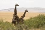 GiraffesMating
