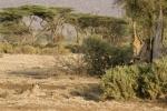 LionHuntingGiraffe