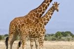 MaleandFemaleGiraffe