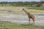 MasaiGiraffeinNdutu