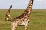 MasaiGiraffes