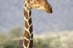 ReticulatedGiraffe