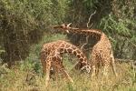 ReticulatedGiraffesFighting