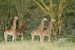RothchildGiraffes