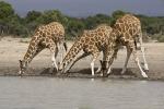 ThreeGiraffeDrinking