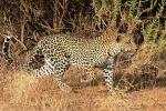 LeopardHunting