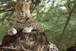 LeopardInAcaciaTree3