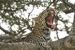 LeopardYawning