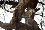 LeopardinAcaciaTree