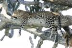 LeopardinCandelabraTree
