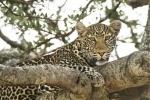 LeopardinMara