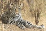 LeopardinMasaMara