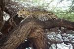 LeopardinThornTree