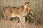 LionessCarryingCub