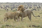 AfricanLionsCourting