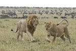 AfricanLionsCourting2