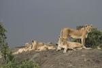 LionPrideonRockKopje