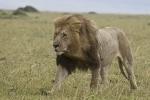LionRunningIntoTheWind2