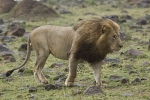LionWalkingIntoTheWind