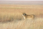 LionessOnTheProwl