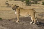 LionessSurveyingHerTerritory