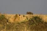 LionessWatchingWildebest