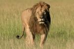 LioninMasaiMaraKenya