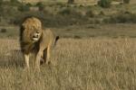 LionintheWind