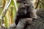 Baby Mountain Gorilla, Rwanda