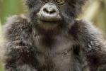 Baby Mountain Gorilla, Rwanda-7685