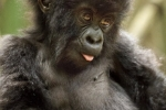 Baby Mountain Gorilla, Rwanda-7686