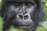 Silverback Mountain Gorilla-7356
