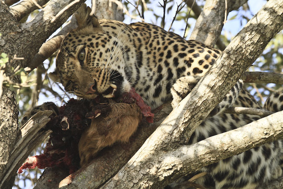 Leopards eating - photo#17