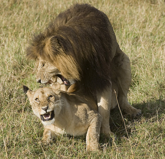 Lions mating gif