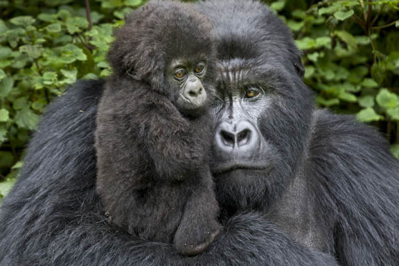 Silverback Gorilla Baby Newborn Silverback Gorilla