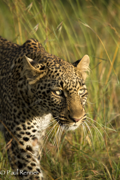 Leopard on the Prowl-5904