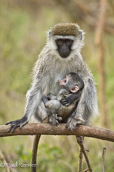 Vervet Monkey and Baby-4676