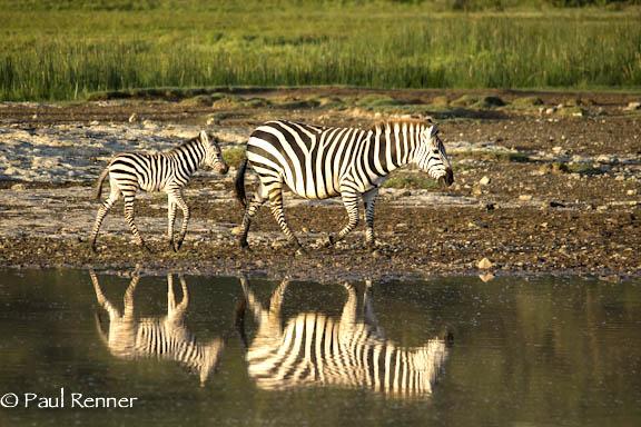 Zebra Baby Reflection-2934