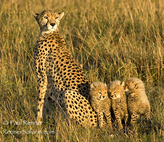 Cheetah with Cubs-0868