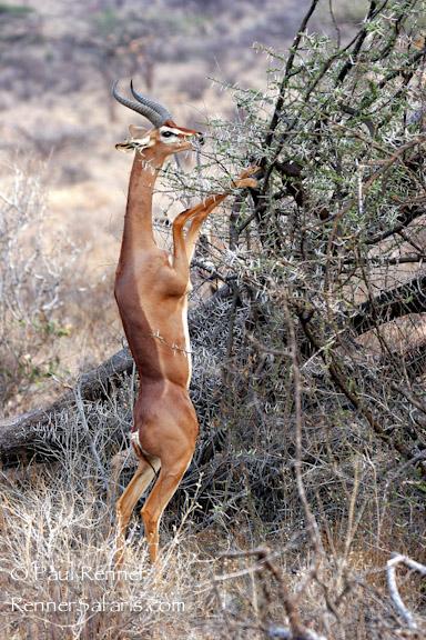 Gerenuk in Samburu, Kenya-