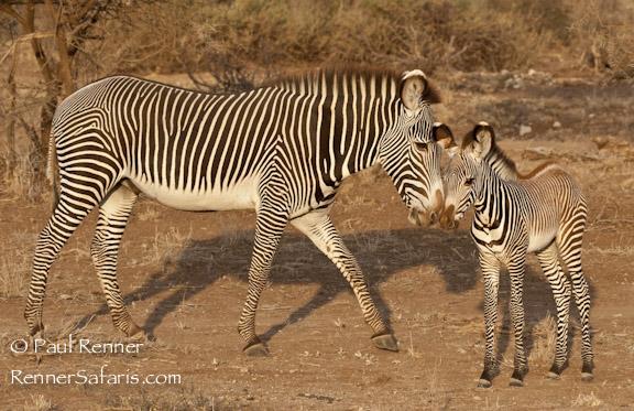 Grevy's Zebra and Baby-0869