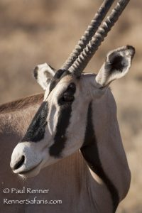 Oryx in Samburu-5783