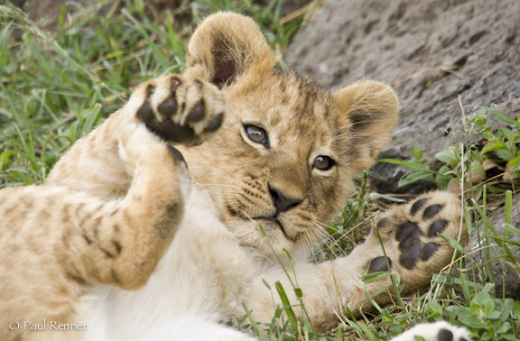 Playful Lion Cub-3739