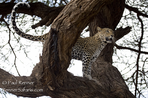 Samburu Leopard-2118