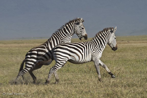 Zebras Fighting, Tanzania-4320