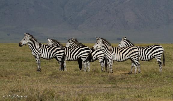 Zebras, Tanzania-4352-2