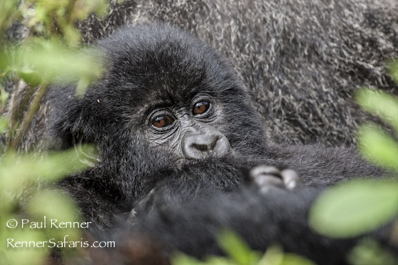 Mountain Gorilla Baby-1271
