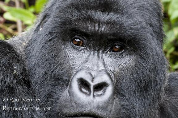 Silverback Mountain Gorilla  -1668